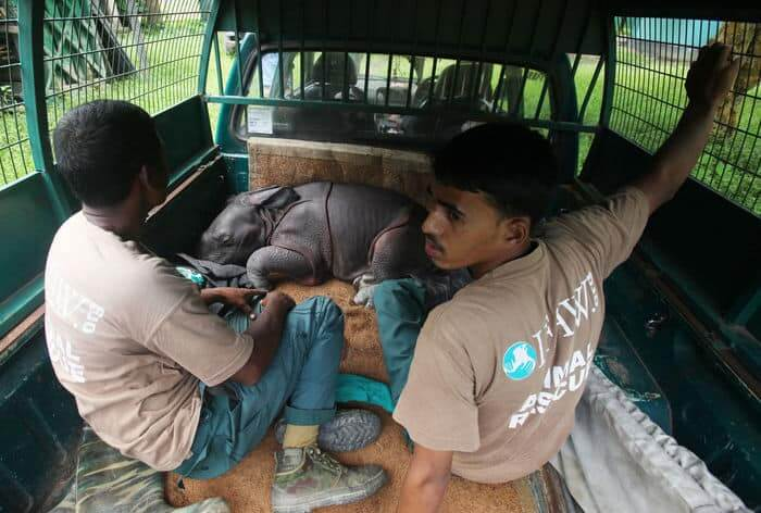 Transporting the male rhino calf
