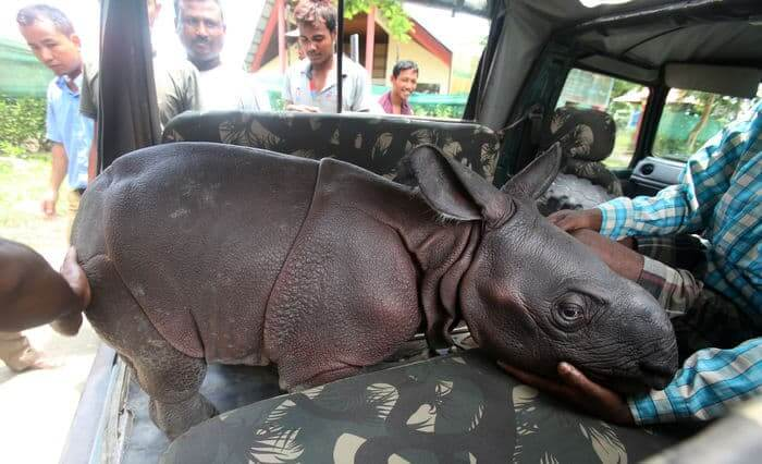 Male rhino calf rescue - in the van
