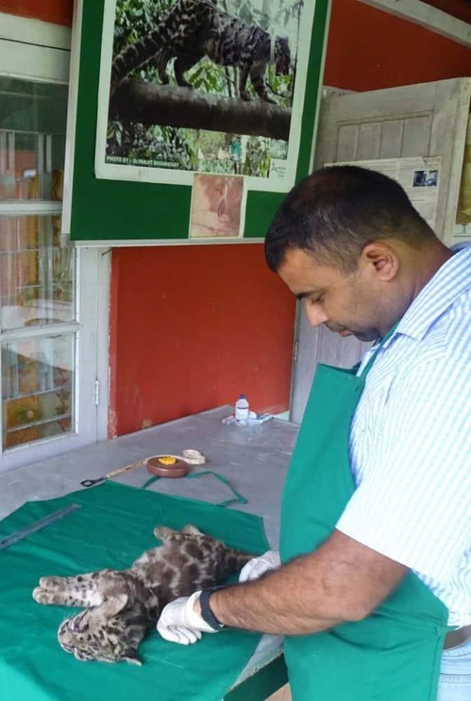 Dr. Bhaskar Choudhury, Head Vet of IFAW-WTI examines the clouded leopard at Wildlife Transit Home of IFAW-WTI at Charaikhola in Kokrajhar.