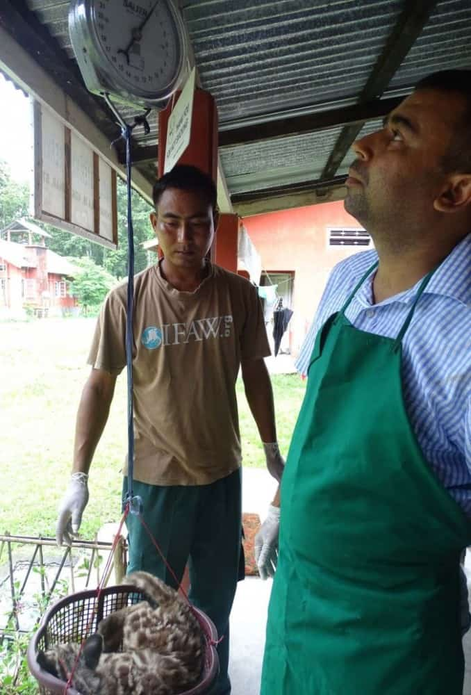 Dr. Bhaskar Choudhury, Head Vet of IFAW-WTI weighs the clouded leopard at Wildlife Transit Home of IFAW-WTI at Charaikhola in Kokrajhar.