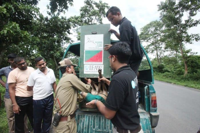 IFAW rescuers bring in the animal from the vehicle