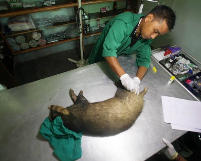 The full grown female hog badger's clinical examination