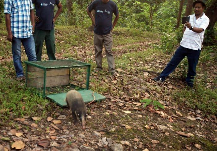 Full grown female hog badger explores the soil after her release in Rangalu forest, Kaziranga