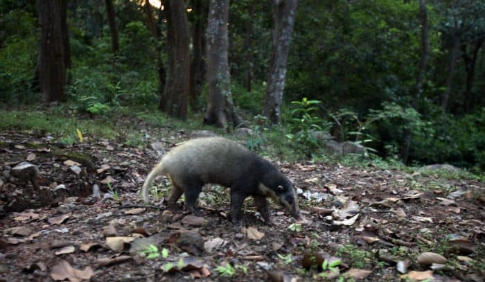 Hog Badger Rescued and Released in Kaziranga