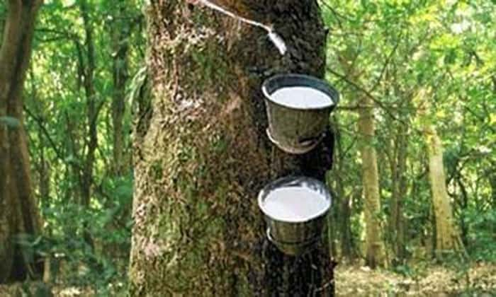 extracting rubber from a tree.