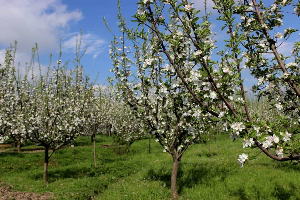 Kashmir Apple Orchard