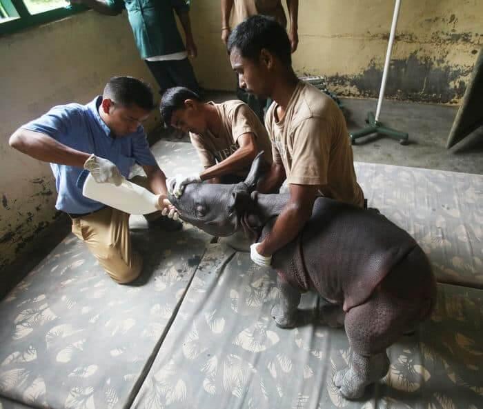 Male rhino calf rescue 02