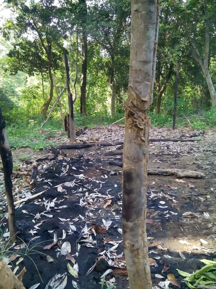 charred forest and hacked tree
