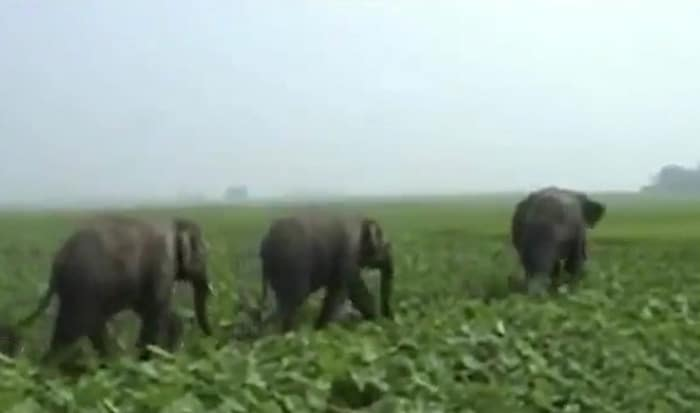 Man-Elephant Clash - raiding crops