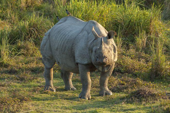 Wild Indian rhinoceros in Kaziranga National Park