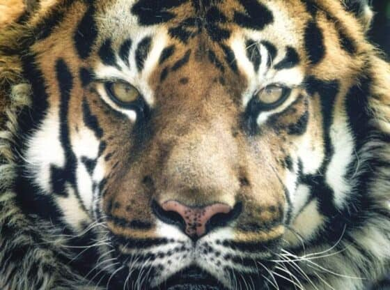 Royal Bengal Tigers of North East India. Image by Ian Lindsay from Pixabay