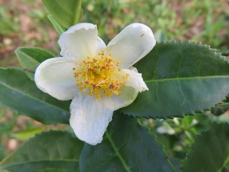 camellia sinensis nagaland. Image by Natasha G from Pixabay