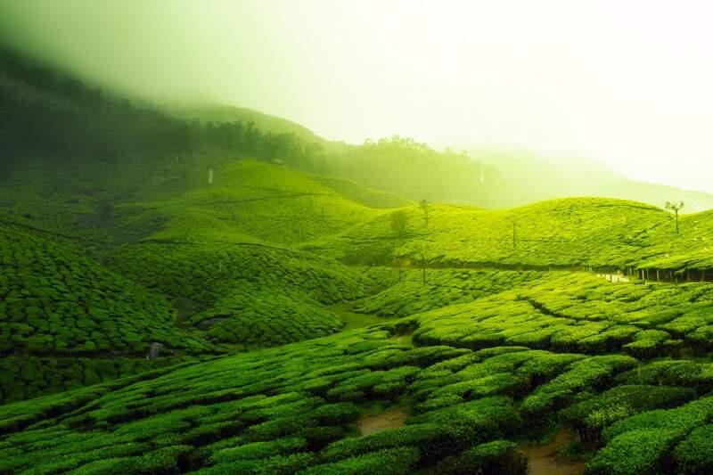 tea plantation. Image by David Mark from Pixabay